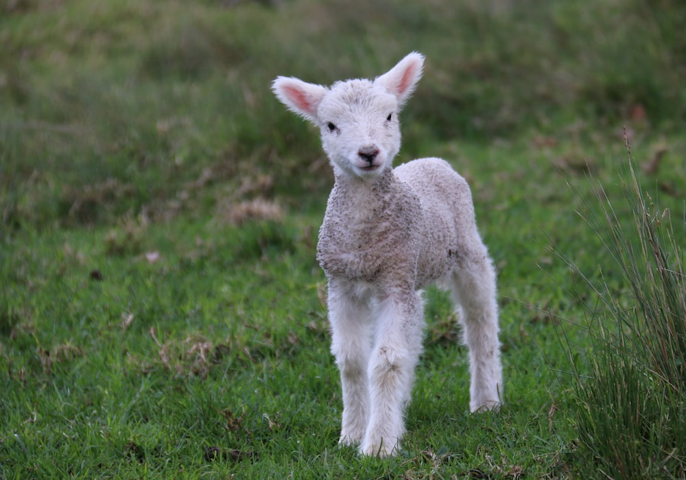 White And Gray Sheep Lamb