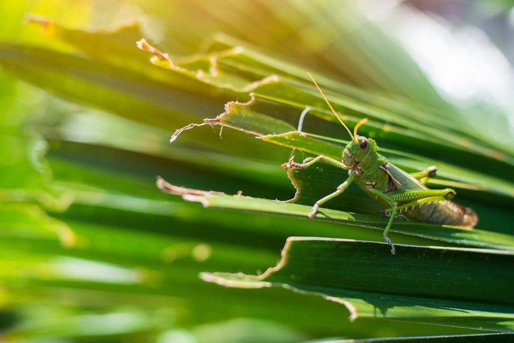 green grasshopper on the green leaf during daytime