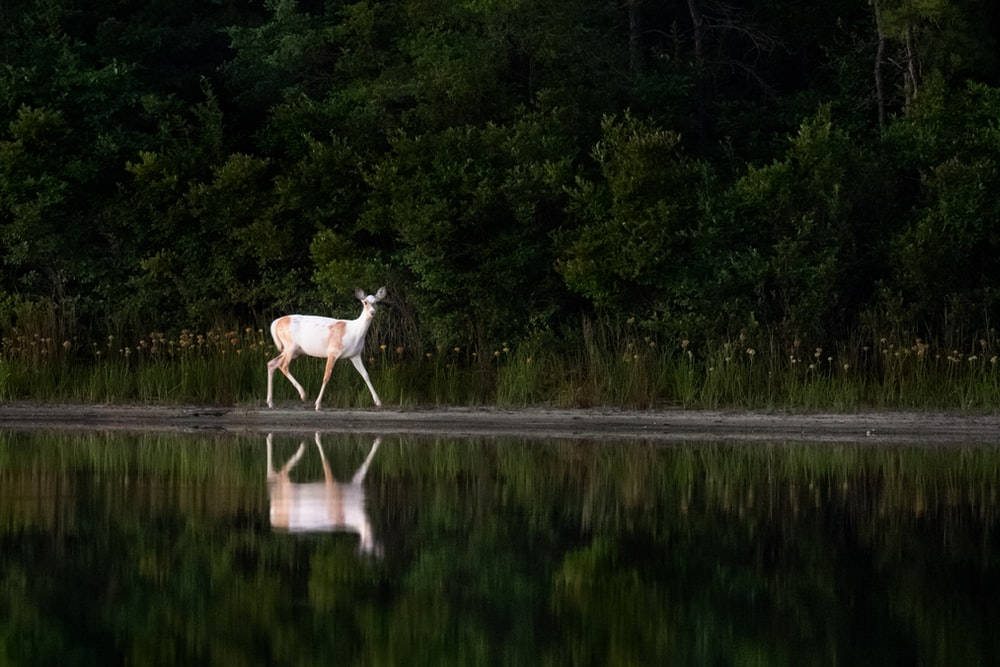 white and brown deer walking near body of water beside forest trees