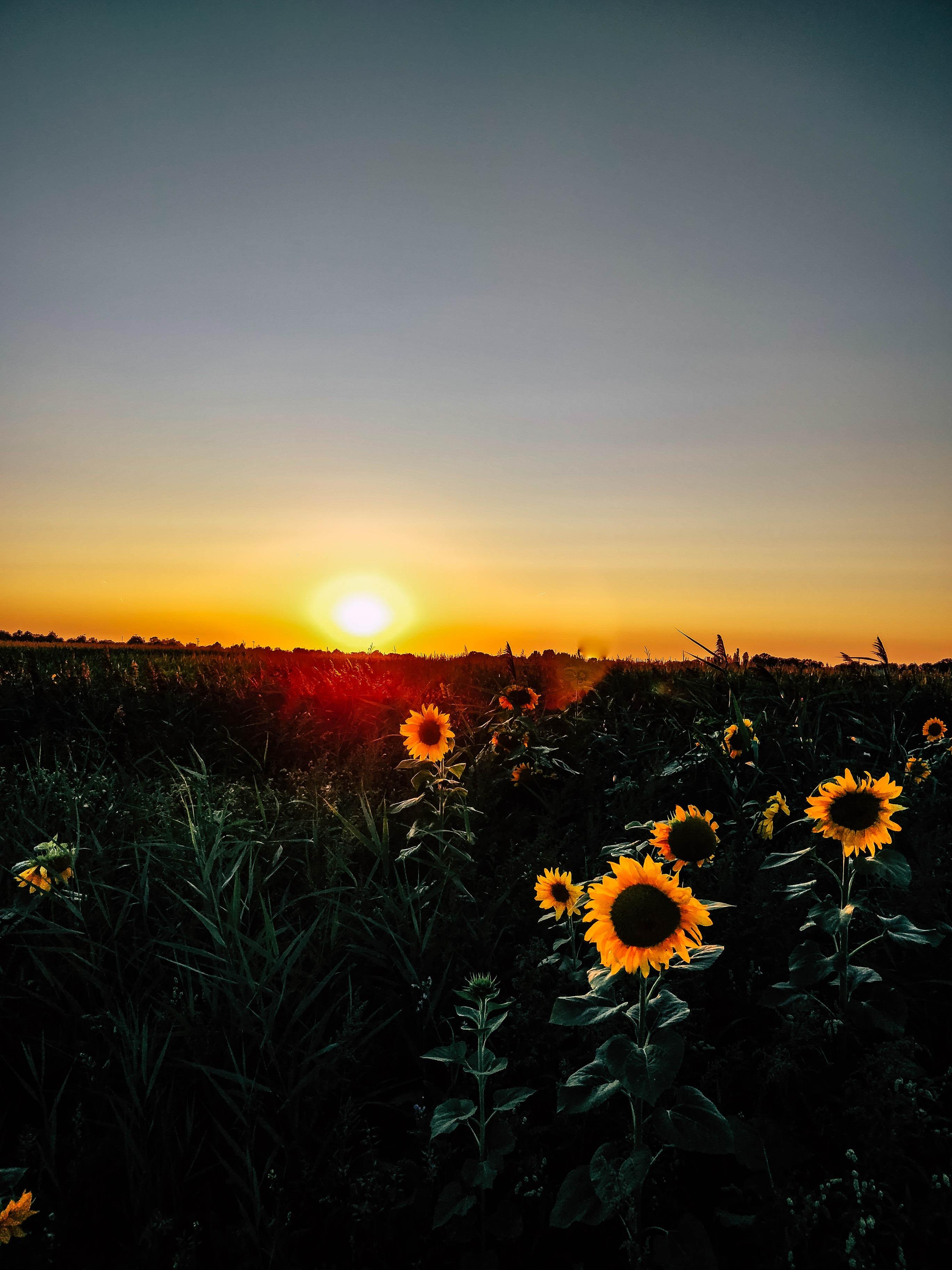 sunflower field at golden hour
