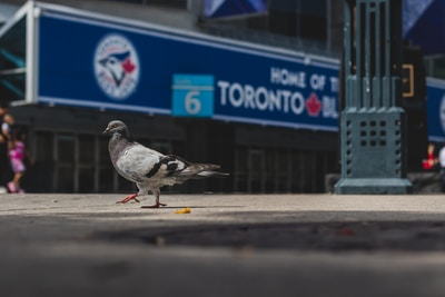 Blue Jays, gray pigeon in selective focus photo during daytime