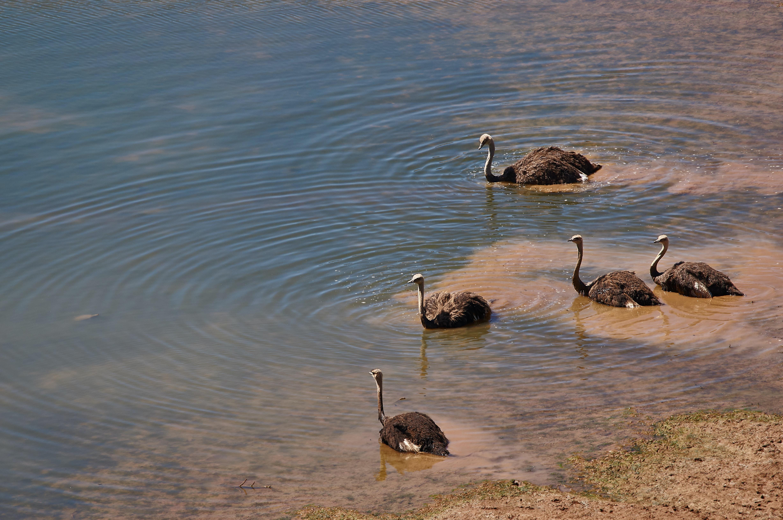 five black long-necked birds in water