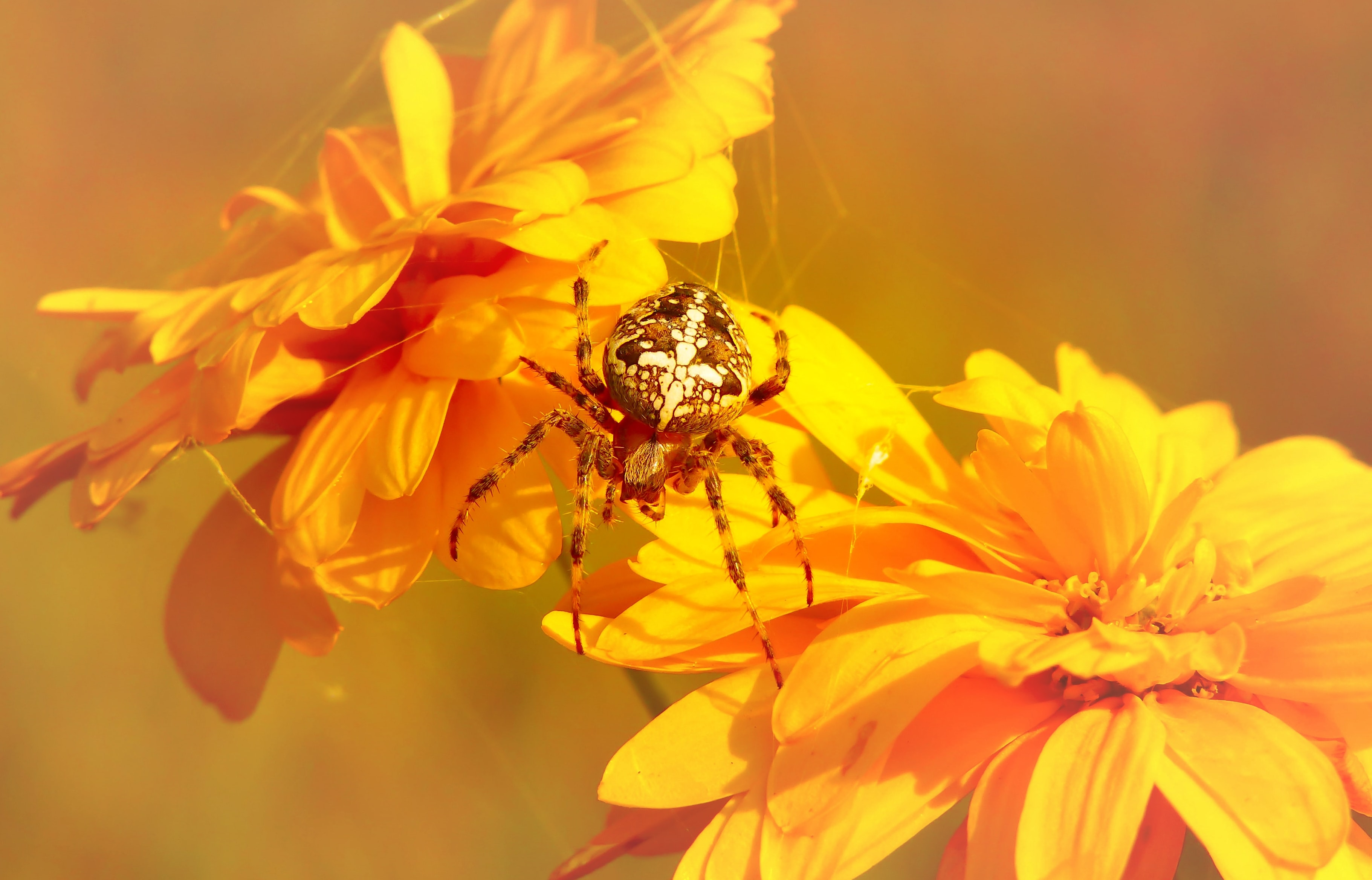 brown and white spider on yellow petaled flower