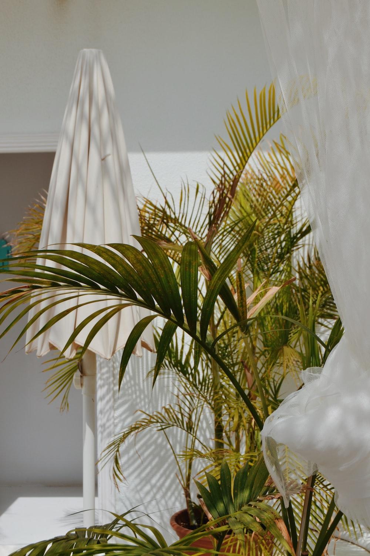 majesty palm plant on brown pot