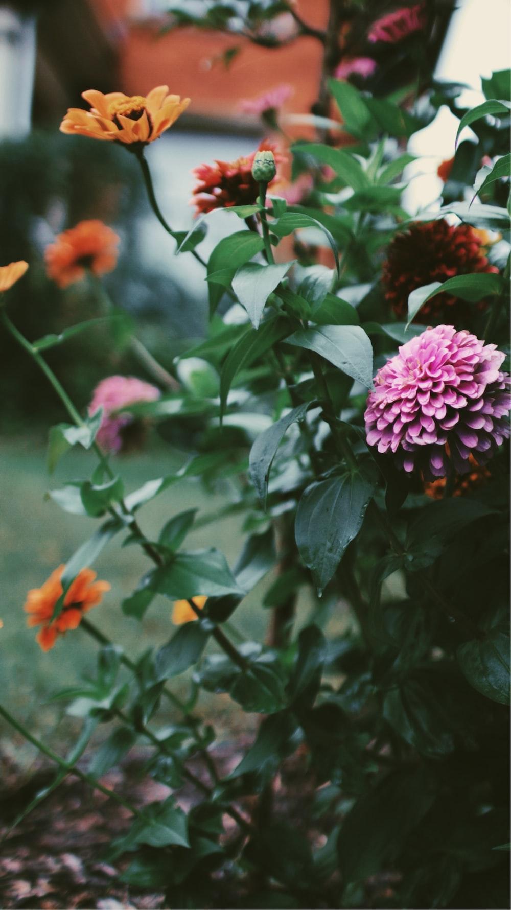 selective focus of pink flower near orange flowers