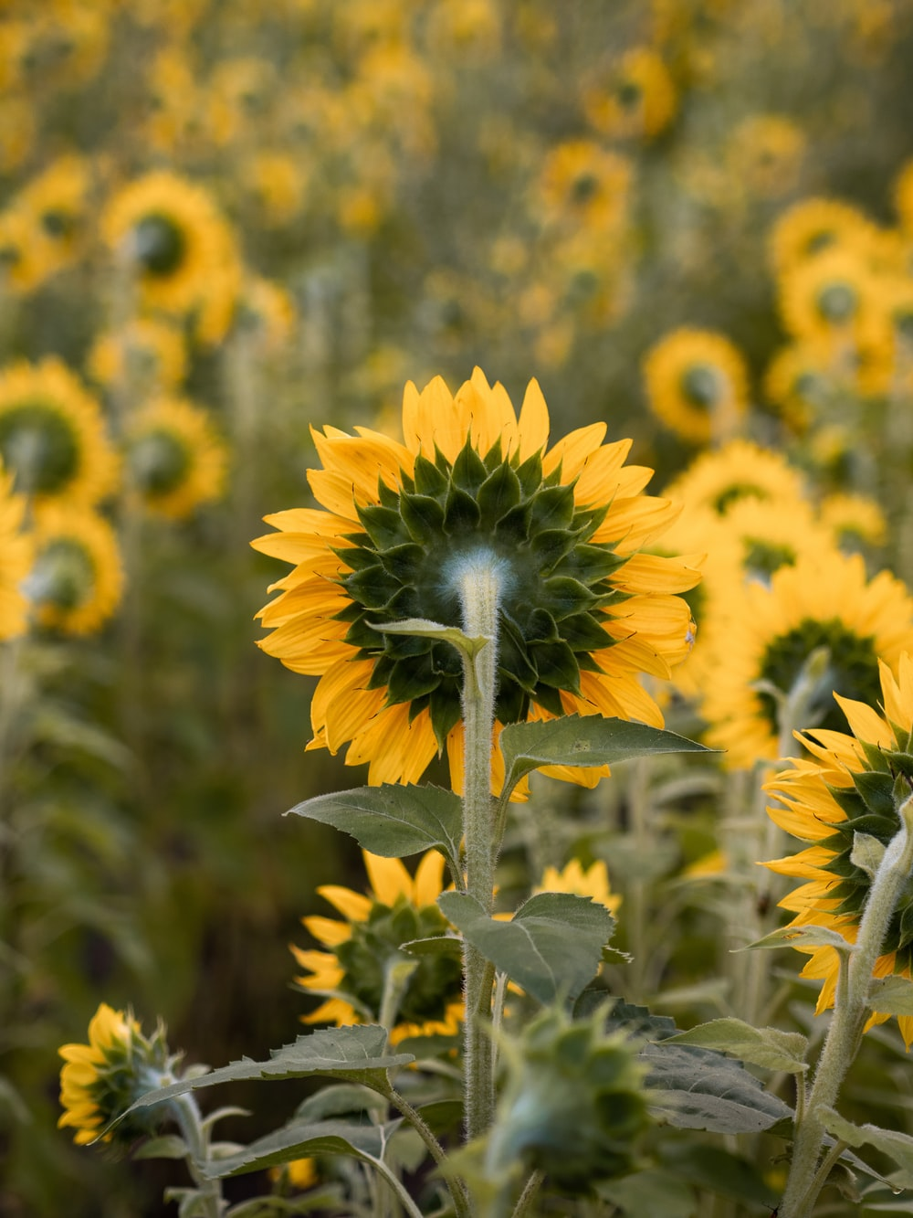 depth photography of yellow sunflower field