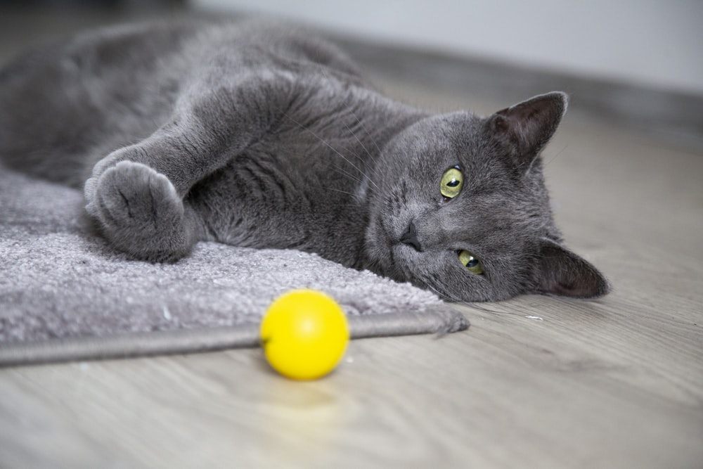 selective focus photography of lying Russian blue cat