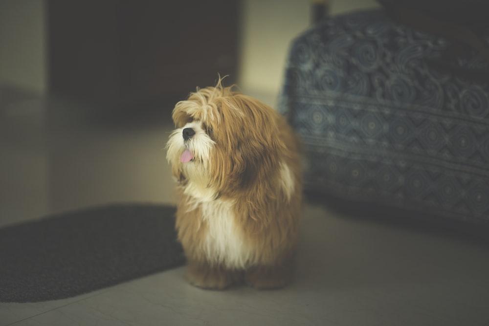 long-coated brown dog standing near sofa