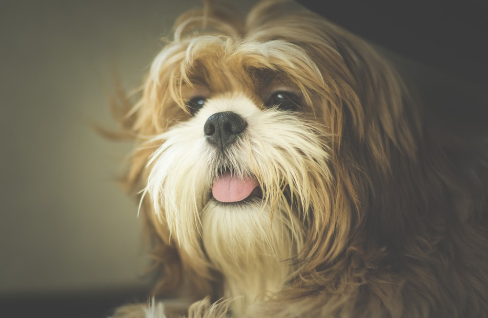 photo of adult Yorkshire terrier