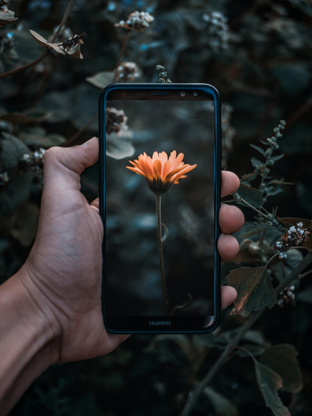 person holding smartphone displaying orange daisy flower