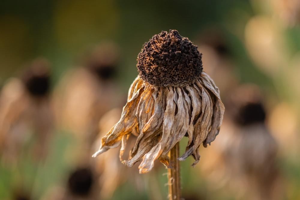 macro photography of brown sunflower