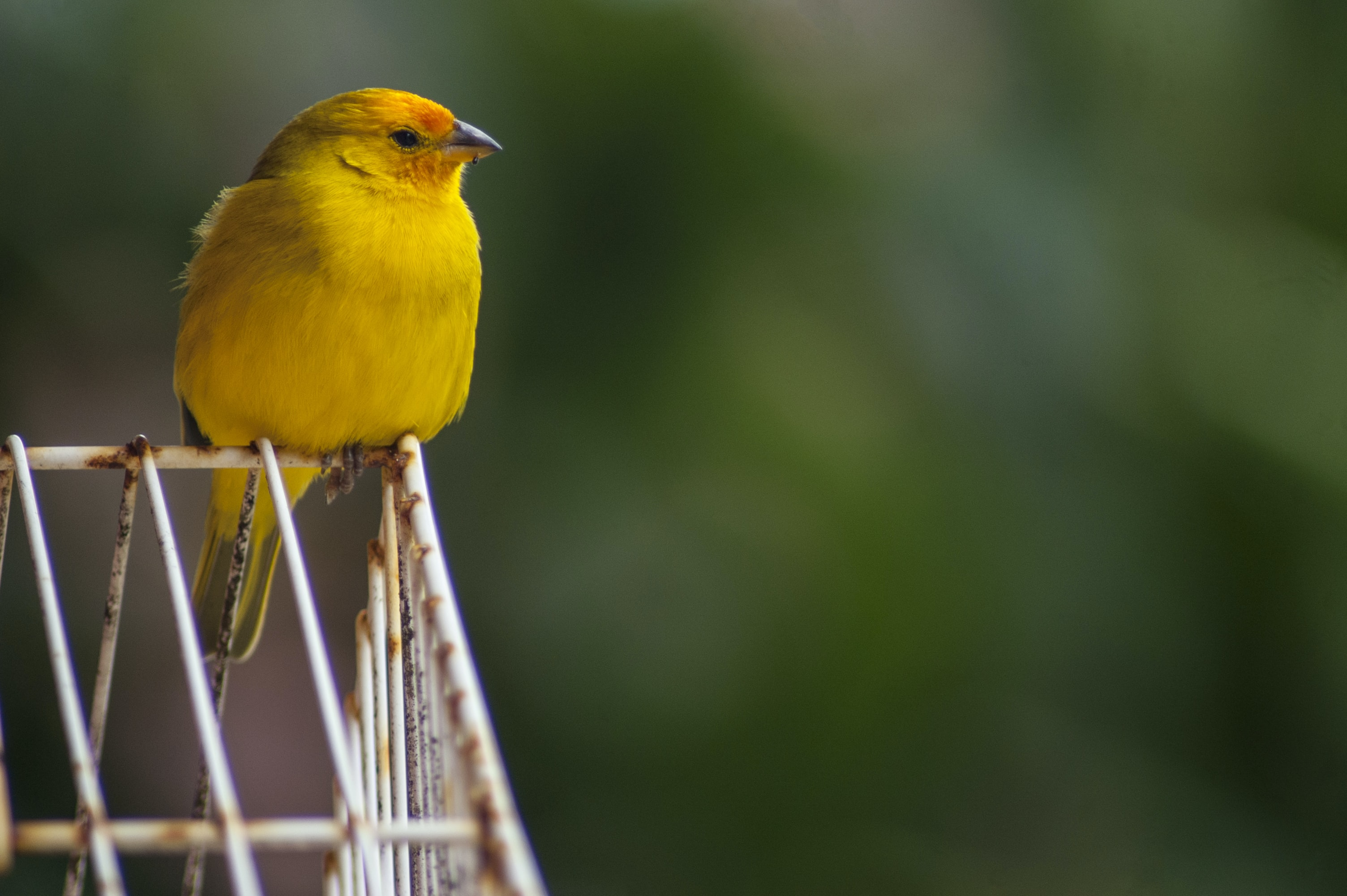 shallow focus photography of yellow bird