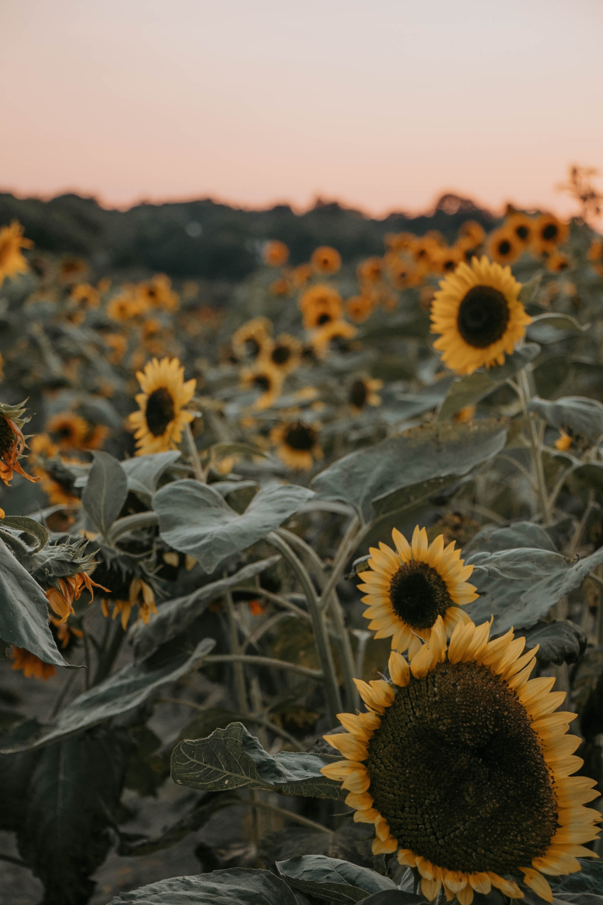 focus photography of yellow sunflower field
