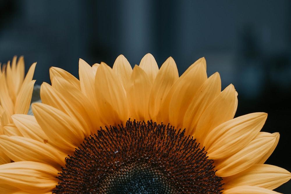 sunflower during daytime