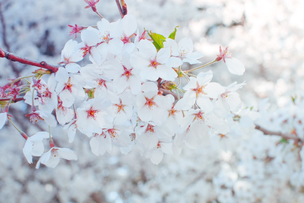 selective focus photography of white flowers in bloom
