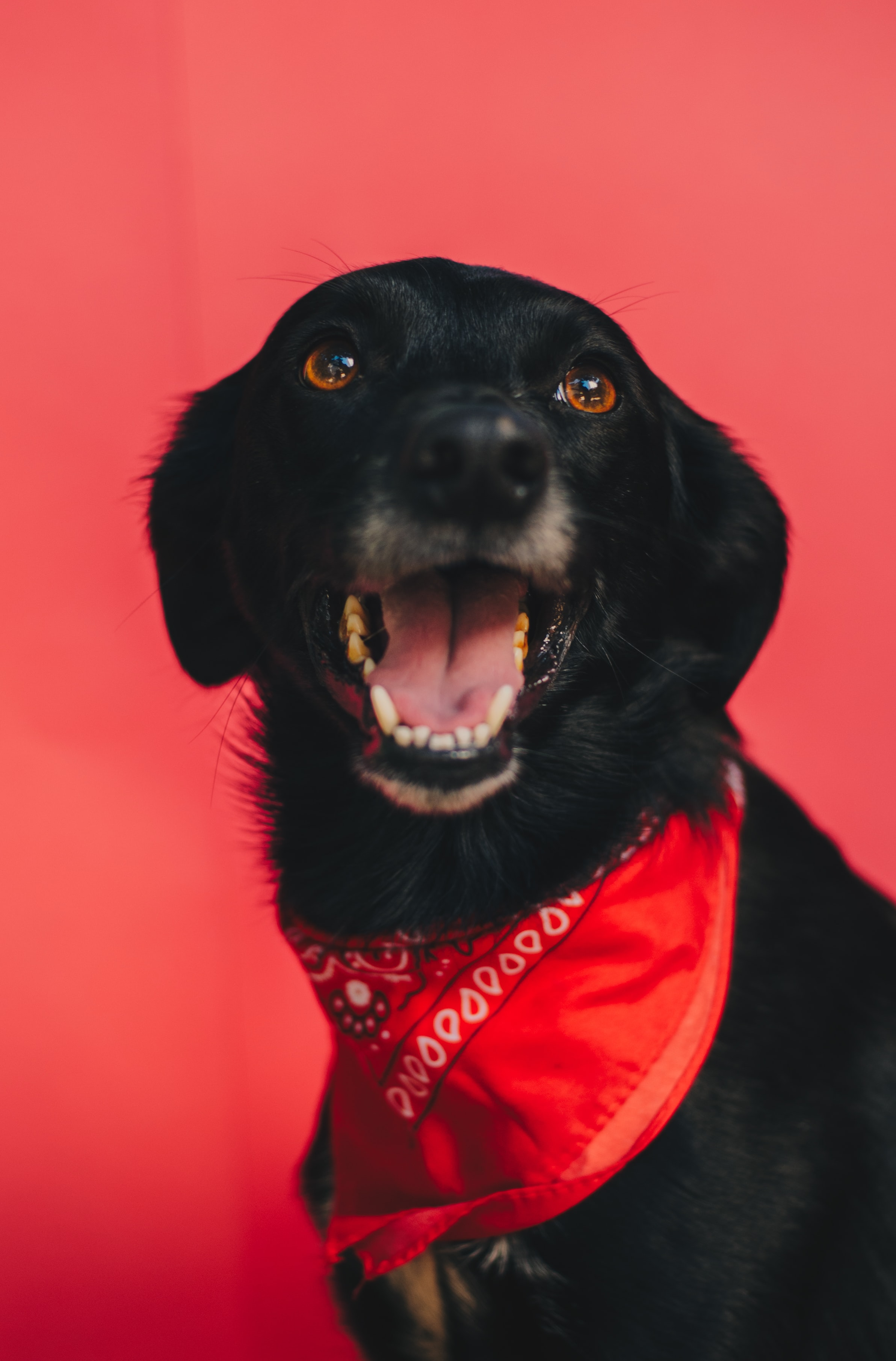black dog with red bandanna