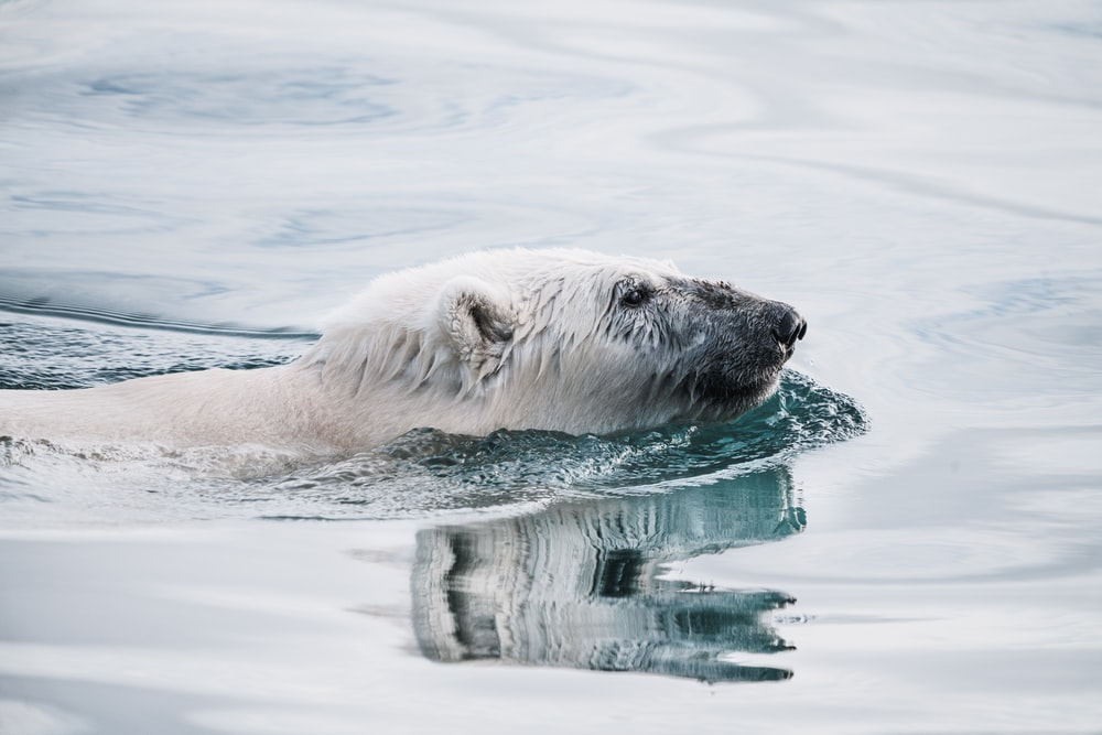 white bear on body of water