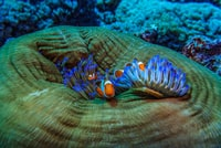 photo of blue sea anemone and clown fish