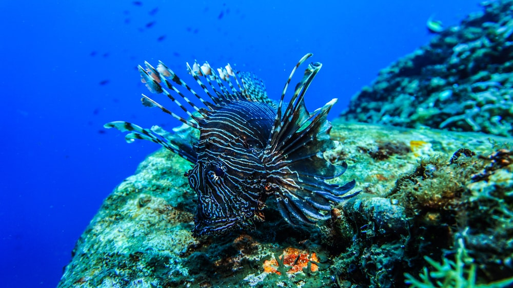underwater photo of blue and black fish