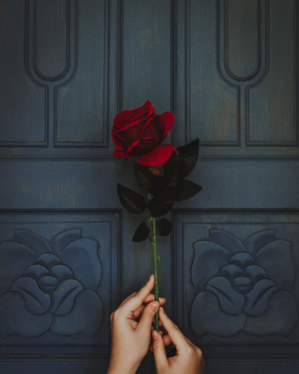 Red Rose Images Hq Download Free Pictures On Unsplash
