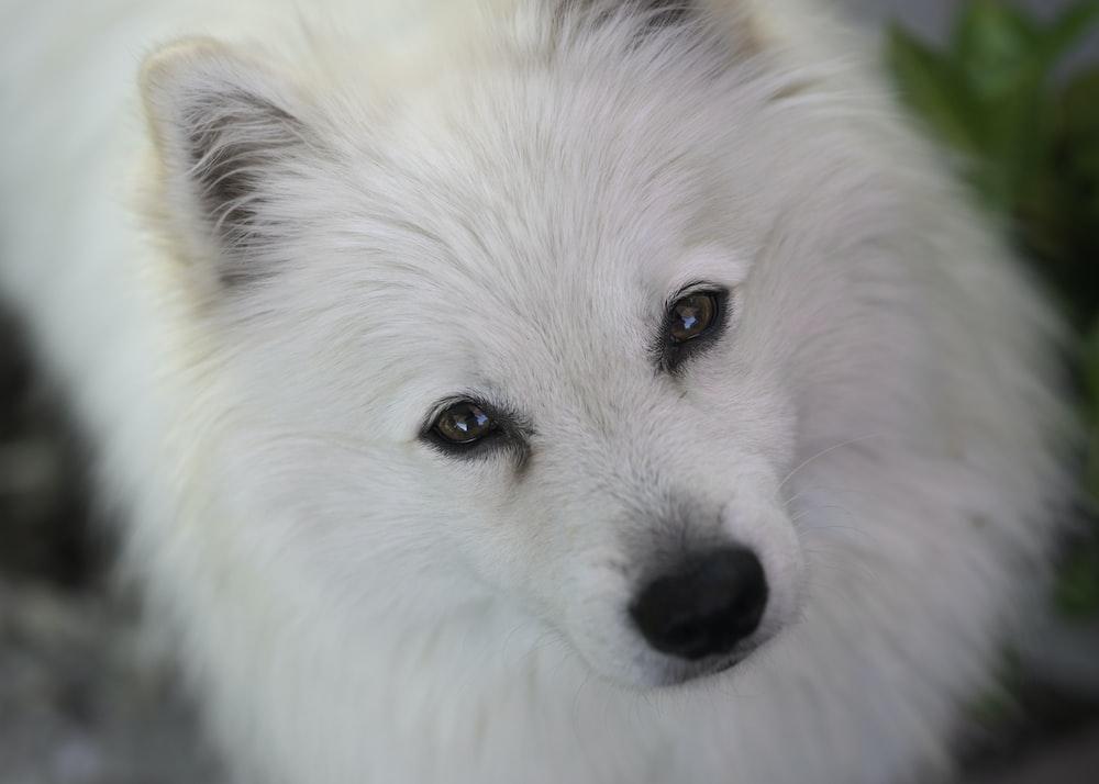 close up photography of long-coated white dog
