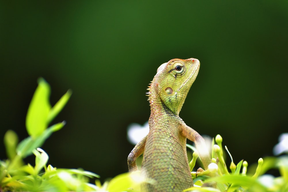 brown and green gecko