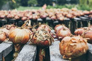 lined up onion bulbs