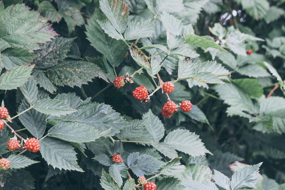 closeup photography of berries