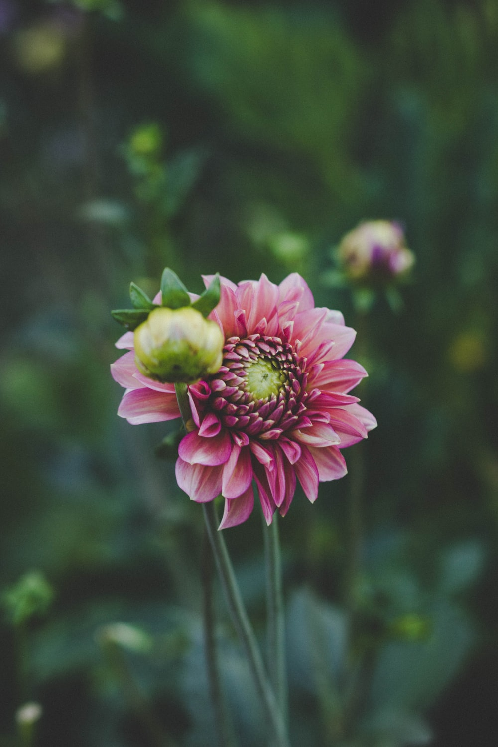 Flower pink flowers flowers and vegetable garden hd photo by selective focus photography of pink dahlia flower in bloom izmirmasajfo