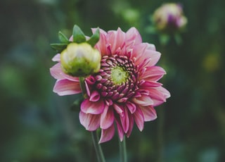 selective focus photography of pink dahlia flower in bloom