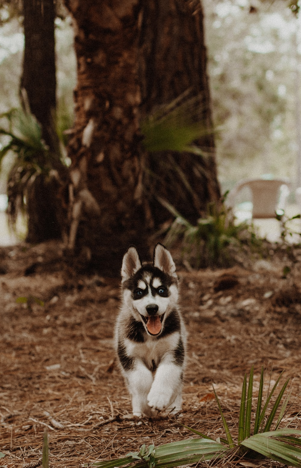 shallow focus photography of white and black Siberian husky puppy