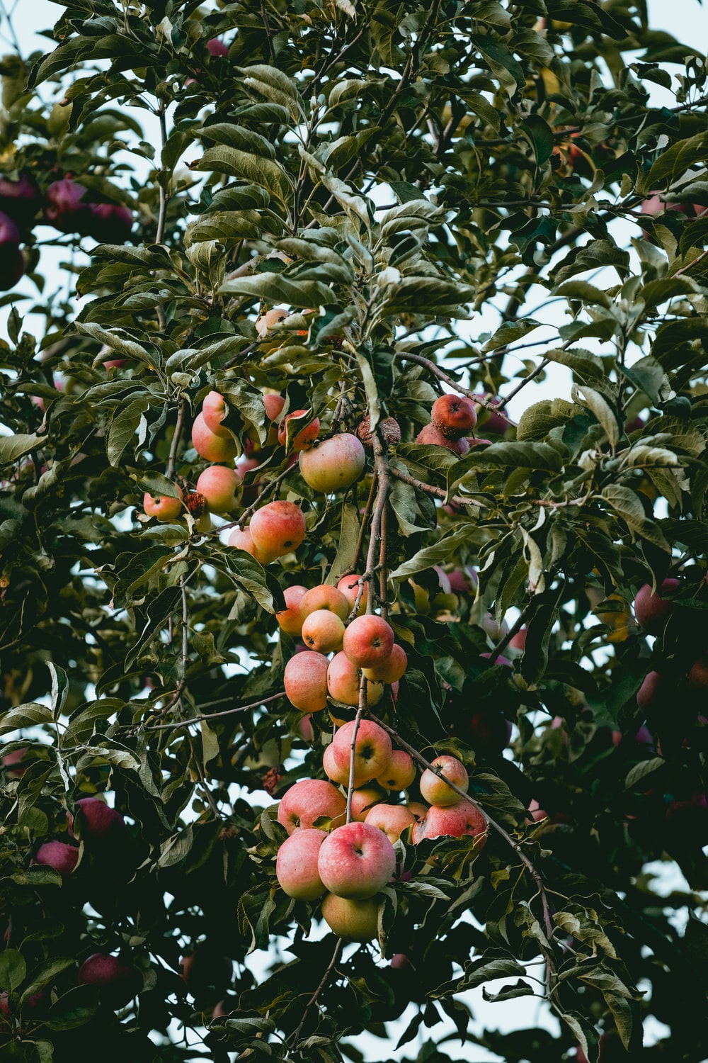 Apple Tree Pictures Hq Download Free Images Stock Photos On
