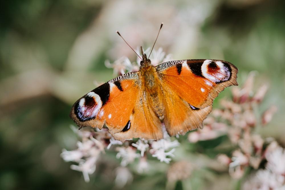 orange and black moth
