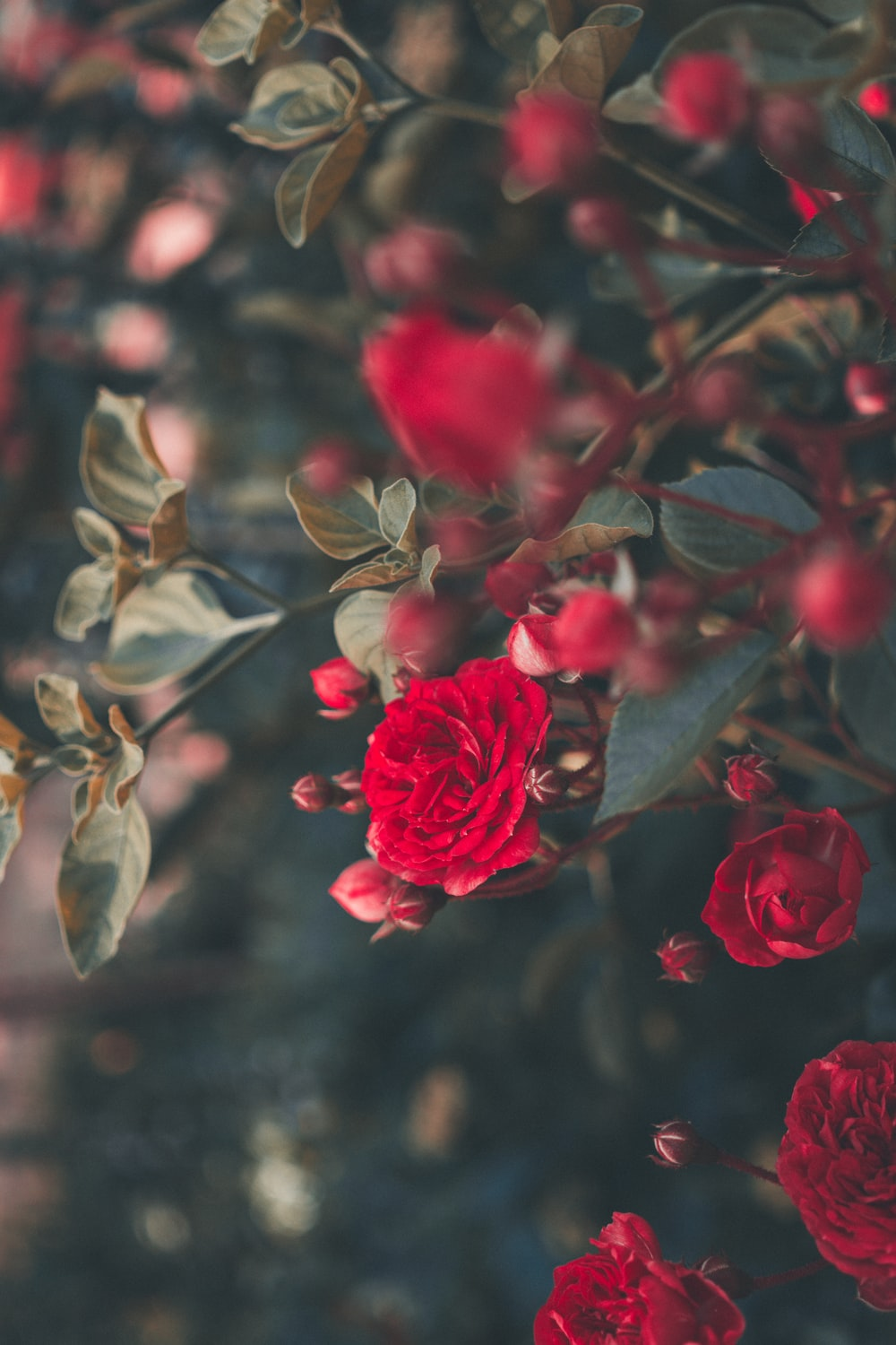 blooming red roses