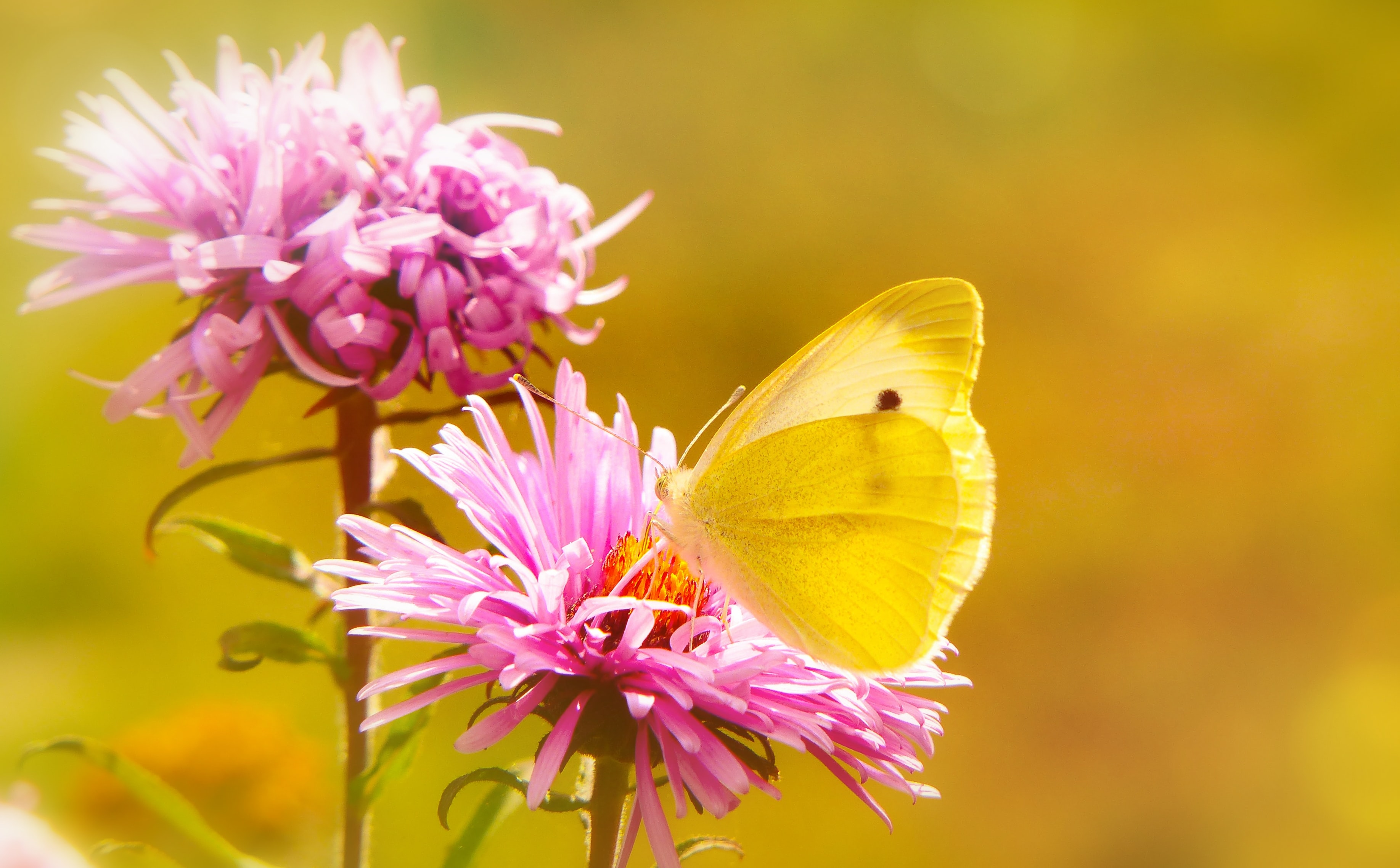 selective focus photography of yellow butterfly collecting nectar from pink petaled flower