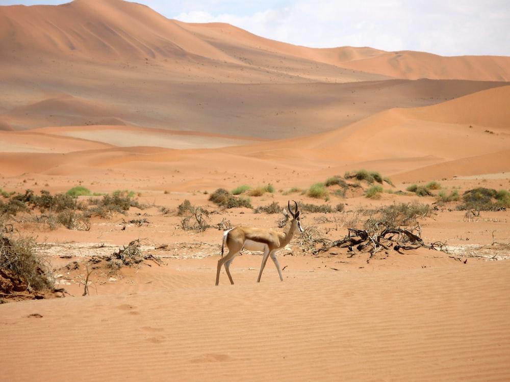brown deer standing in desert