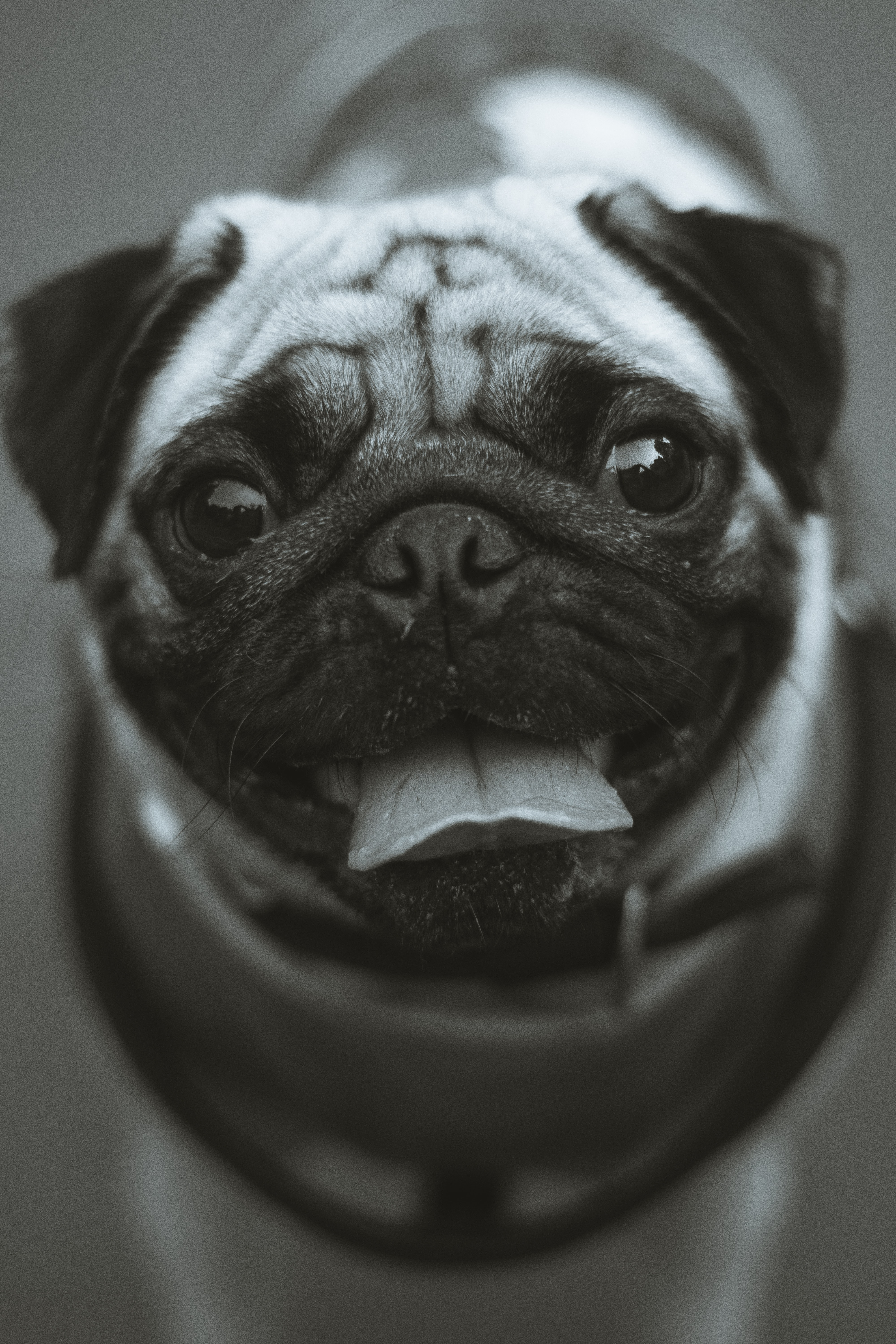 grayscale photo of fawn pug