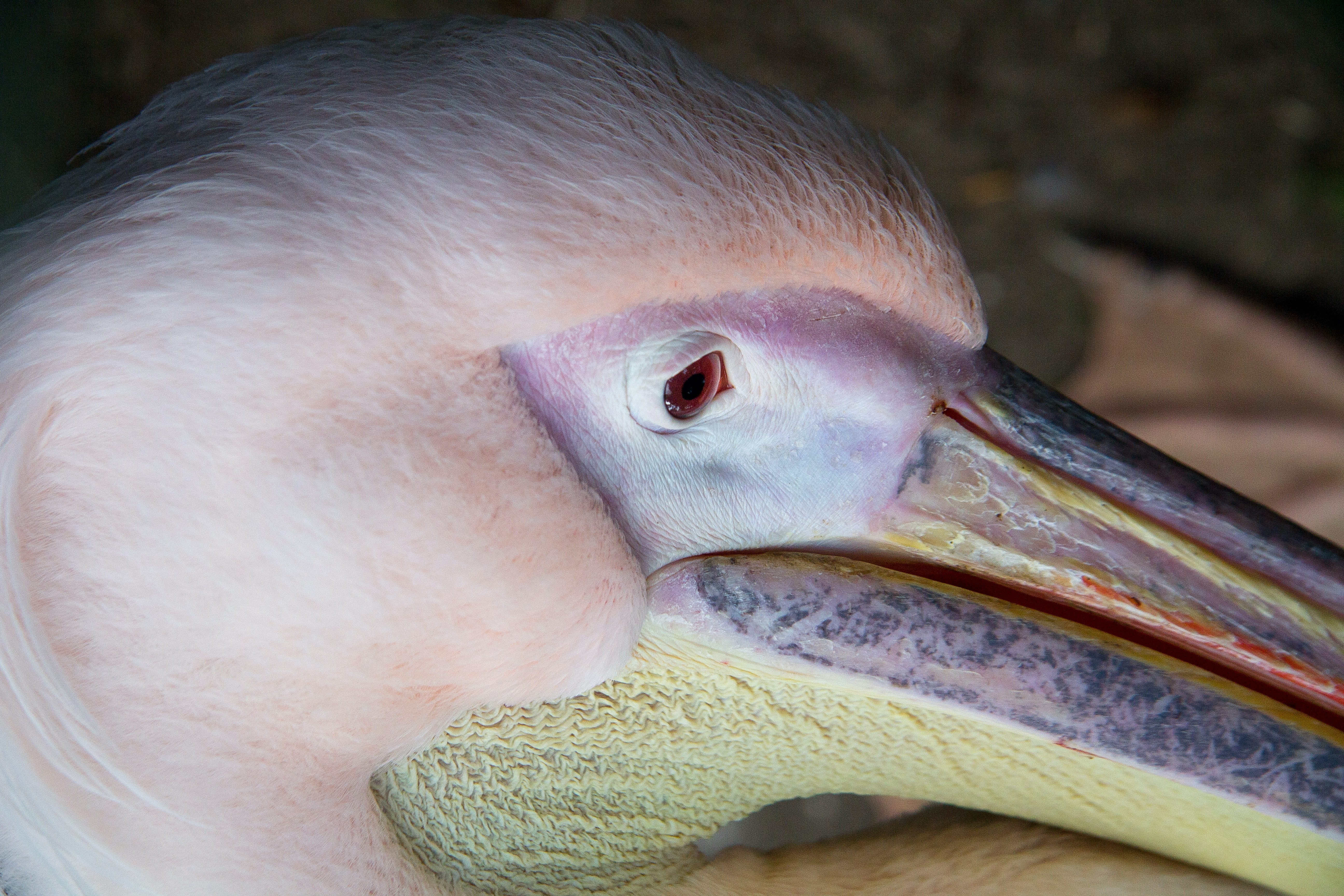 shallow focus photography of pelican head
