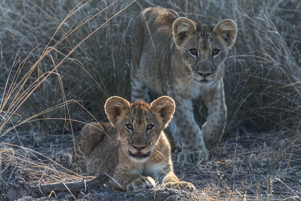 two cubs lying on brown grass