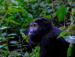 Kibale Forest National Park, Schimpansen-Tracking - Queen Elisabeth National Park