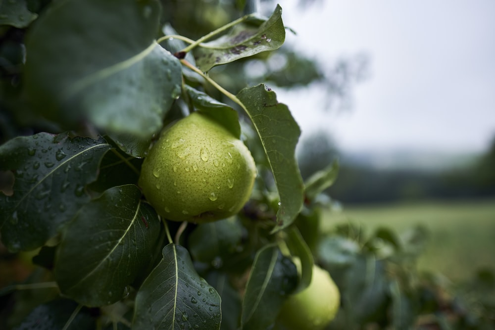 green citrus fruit with water dew