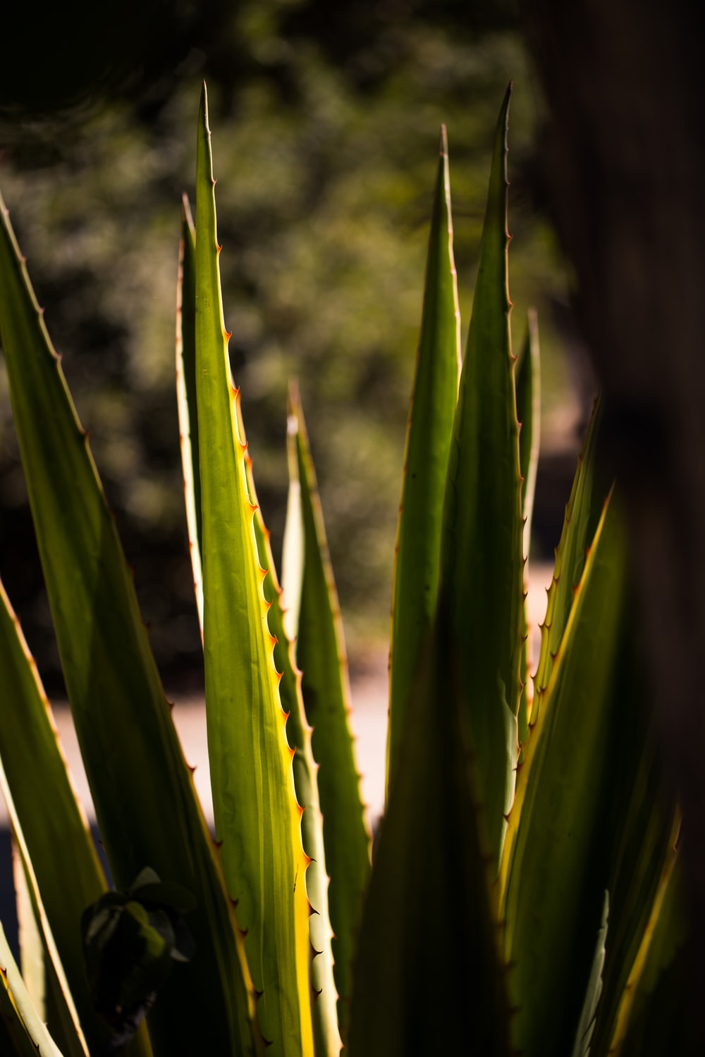 aloe vera plant pictures | download free images on unsplash