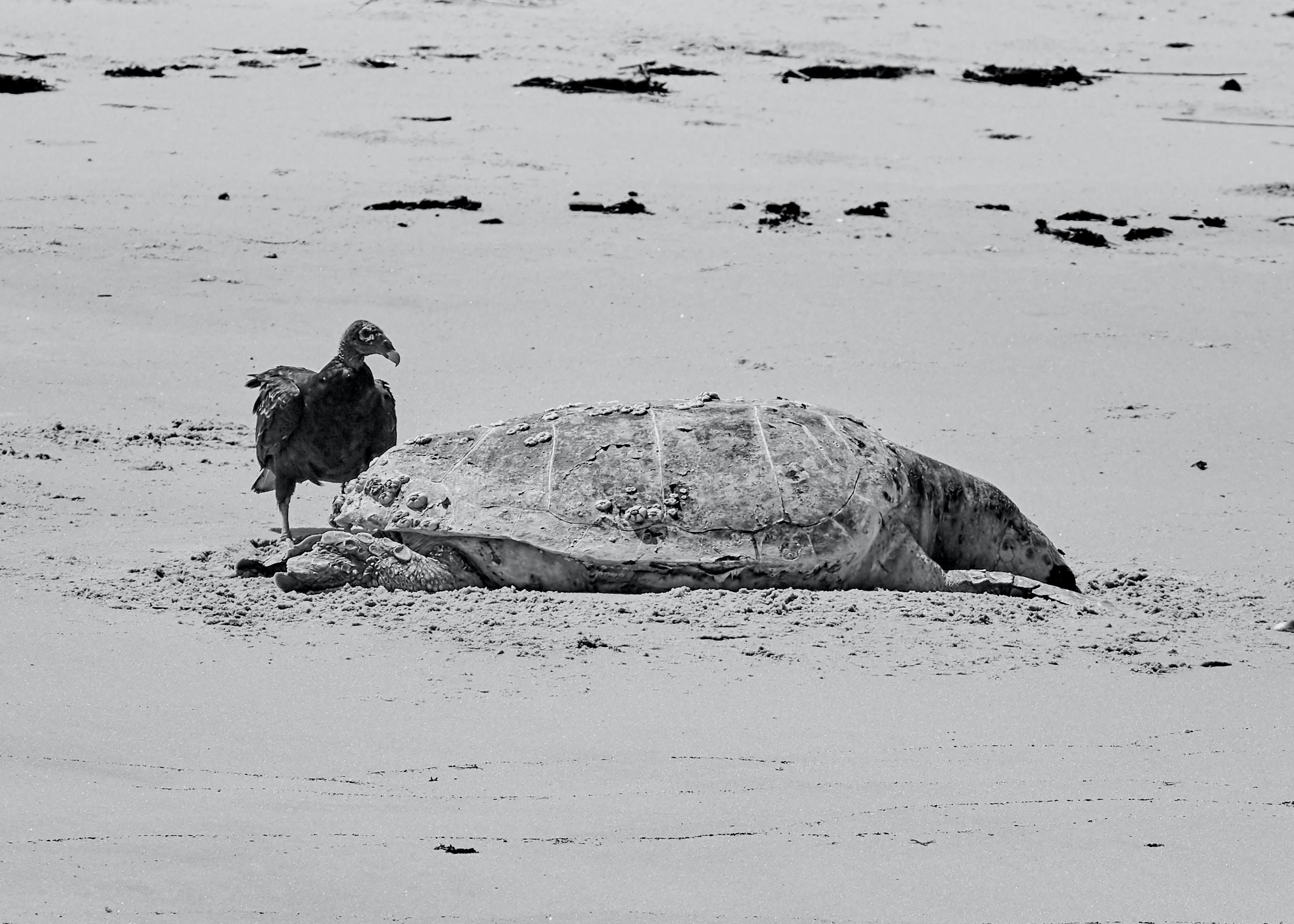sea turtle beside condor