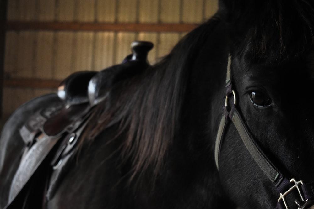 black horse wearing leather saddle