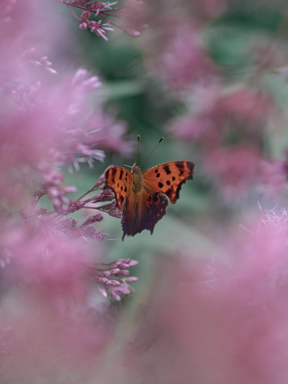 orange and gray butterfly on pink flowers