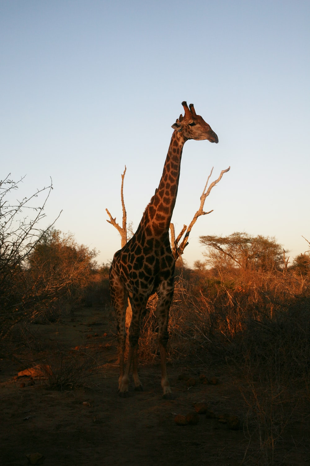 giraffe standing near withered tree in the middle of bushes