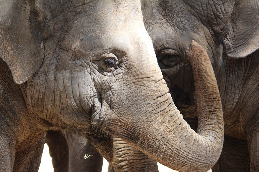 close-up photography of two gray elephants