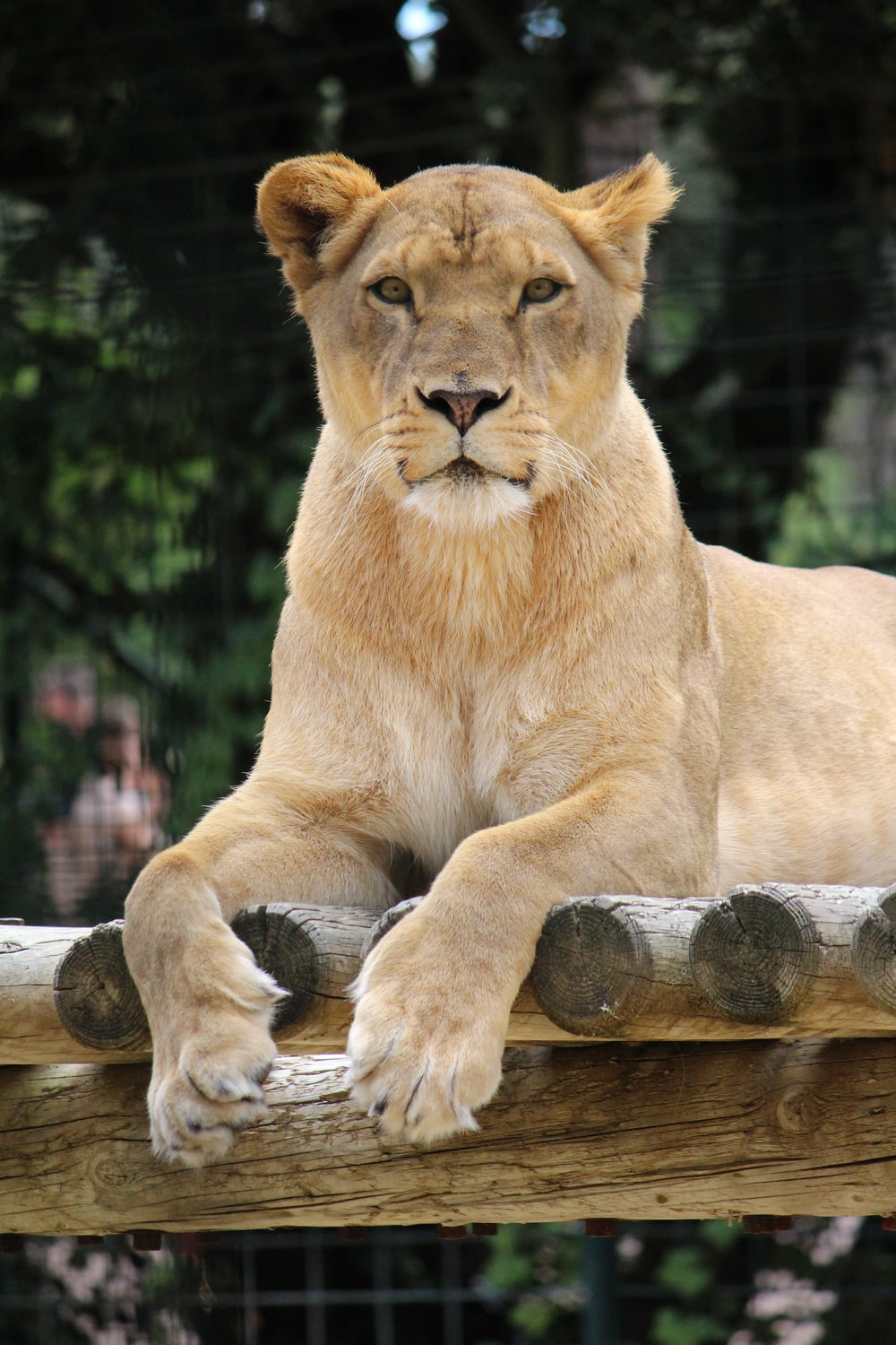 lioness reclining on wood