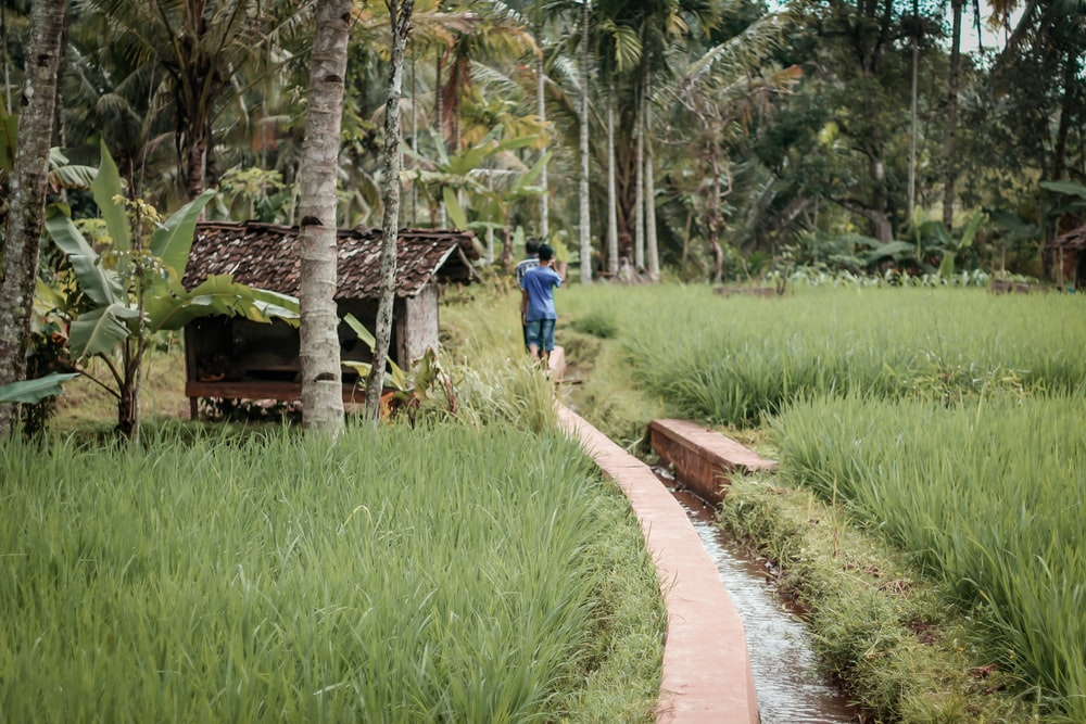 person walking on concrete path in between rice crops during daytime