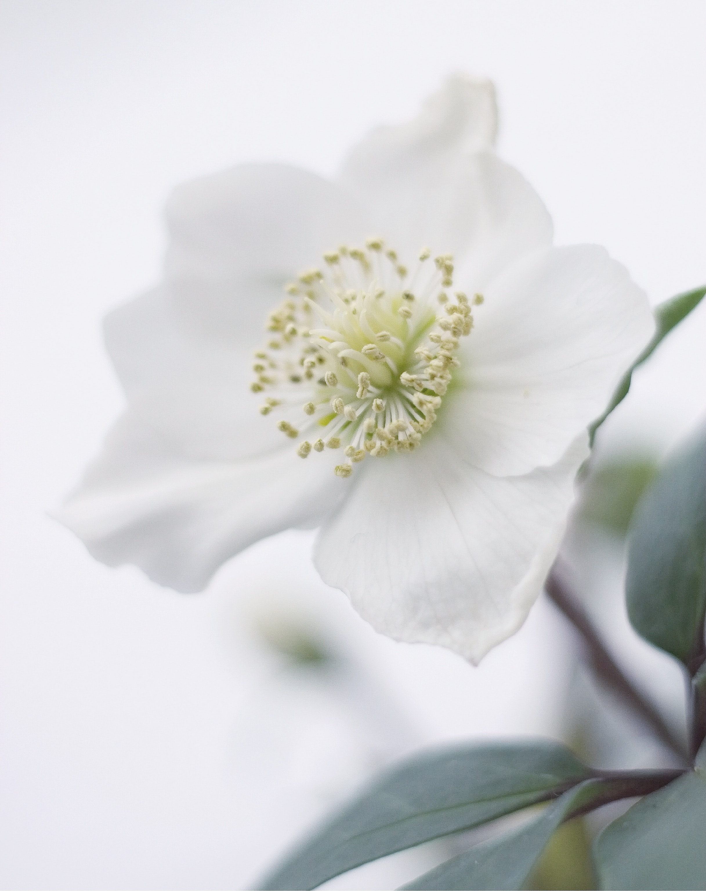white petaled flower